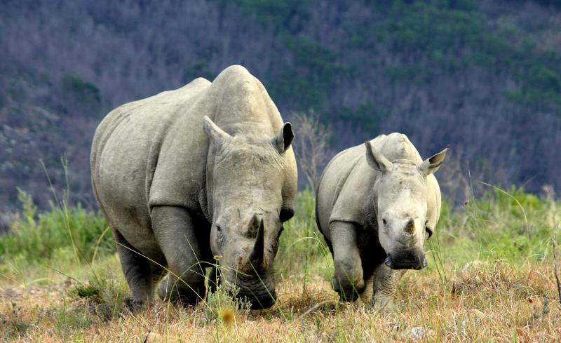 Rhino Farming – is this a solution to curb poaching?