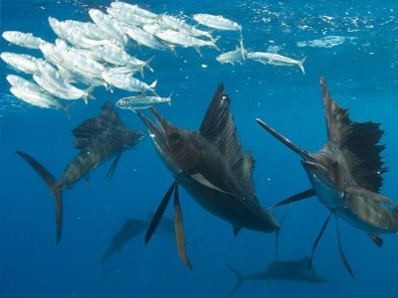 Snorkeling With Sailfish: Cancun Sailfish Tours Announces Thrilling New Opportunity to Get up Close and Personal With Ocean's Fastest Fish