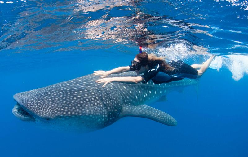 Whale Sharks Return To Cancun, Underwater Adventures Begin May 15