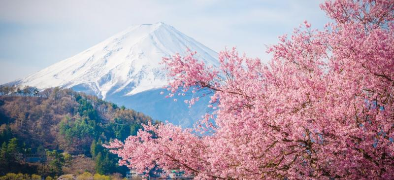 When and Where to See Japanese Cherry Blossom