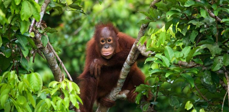 Interact with baby orangutans in Borneo, Malaysia